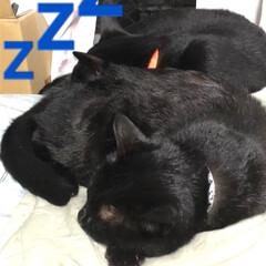 きょうだい/寝顔/家族/黒猫 夕ご飯を食べるとそれぞれが好きな場所で寝…