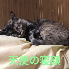 寝顔/猫 いつも、にぎやかで明るいめんちゃん。とっ…