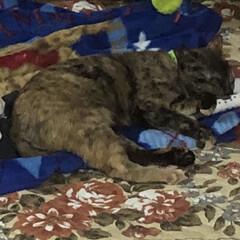 寝顔/猫 ストーブの前でくつろぐ面。3匹の中で1番…
