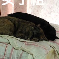 家族/猫/黒猫/寝顔 ご飯食べて運動会したら💤 近頃くろママと…