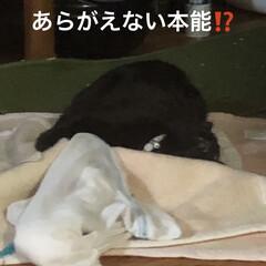 黒猫/遊び/くろママ/暮らし すっかり家での生活を満喫してるくろママ。…(5枚目)