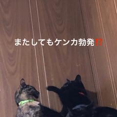 ケンカ/きょうだい/黒猫/猫 これもう成長なのでしょうか⁉️またしても…