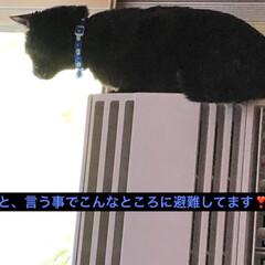 黒猫/にゃんこ同好会 まだまだ甘えん坊なめんは隙を見つけてくろ…(3枚目)