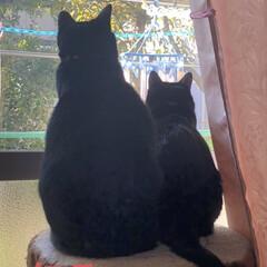 くろママ/にこ/黒猫 黒猫親子のくろママとにこ。 とっても小さ…