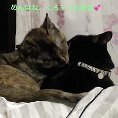 家族/猫/黒猫/めん/くろママ/にこ めんは、時折り甘えたモードが入る。 寝て…