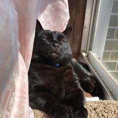 黒猫/にゃんこ同好会/うちの子ベストショット 母猫くろはめんとにこが寝ているのでゆった…