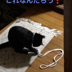 黒猫/にゃんこ同好会/うちの子ベストショット くろは1人遊びが増えてきました。いろんな…