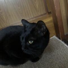 家族/猫/黒猫/食事情 今食べ盛りのうちの猫様方。わたしが家にい…