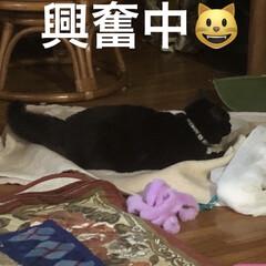 黒猫/遊び/くろママ/暮らし すっかり家での生活を満喫してるくろママ。…(8枚目)