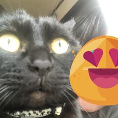 親ばか/猫/めん/にこ/くろ/黒猫/... 久しぶりにスマホで猫様と遊びました。くろ…