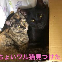 黒猫/にゃんこ同好会 あれ〜猫様はーと探すといつもにこがいる箱…