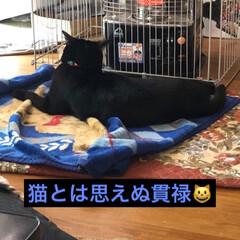黒猫 にこは本当に大きい。ご飯はめんやくろと同…