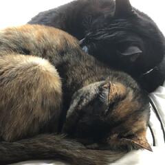 親子/猫/黒猫/めん/くろママ/にこ くろママは優しい💕寂しがりやのめんをすっ…