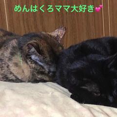 寝顔/猫/黒猫 くろママが大好きでくっついて寝たいめんち…