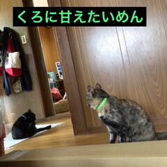 黒猫/にゃんこ同好会 まだまだ甘えん坊なめんは隙を見つけてくろ…(1枚目)