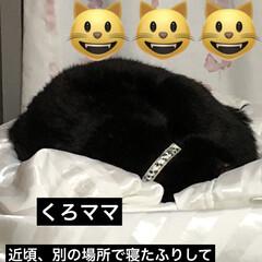 黒猫/家族/猫 昨夜は私の寝るより先にそれぞれの寝場所で…