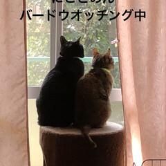 きょうだい/猫/めん/黒猫/にこ/暮らし 近頃、衝突が増えたにことめんだけど こう…