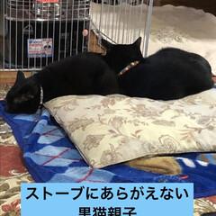にこ/めん/猫/黒猫/くろママ/暮らし 今朝は私がのんびり寝てたから猫様たちが早…