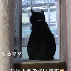 にこ/くろママ/黒猫/めん/猫/暮らし おはようございます。今朝は寒くはないけど…