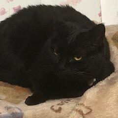 黒猫 くろママは本当におとなしい。とっても空気…