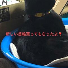 おしゃれ/首輪/黒猫 にこの首輪をめんがよくかじるので 変えて…