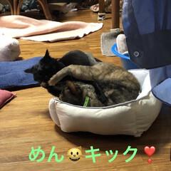親子/めん/猫/くろ/黒猫 珍しくくろがめんにケンカをぶっかけてた⁉…(7枚目)