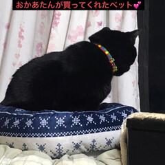 家族/黒猫/猫/お正月2020/ダイソー 猫様は気まぐれなかなか喜ぶと思って 買っ…