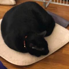 三毛猫/黒猫/猫/にゃんこ同好会/おやすみショット それぞれの誕生日。にこは本当にすくすくと…
