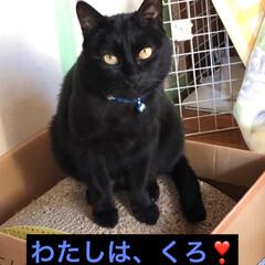 黒猫/にゃんこ同好会/至福のひととき/うちの子ベストショット めんが避妊手術してからものすごく食べ物に…