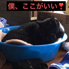 会話/猫/黒猫/ダイソー じつはうちの猫様たちはまだシャンプーした…