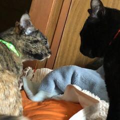 黒猫/にゃんこ同好会 目と目が火花散ってます!めんとにこのケン…