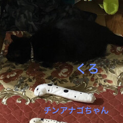 おもちゃ/仲良し/黒猫 お外の生活でダンボールなどの素材を噛みち…