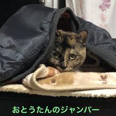 めん/猫 夕ご飯食べると必ず寝室に寝に行くめんちゃ…
