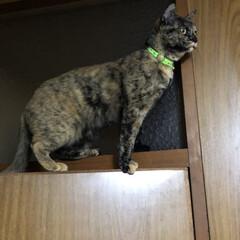 猫/めん やらかしめんちゃん😽久しぶりにドアの上に…