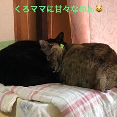 家族/黒猫/猫 やっぱり最後はこうなる❣️めんはやっぱり…