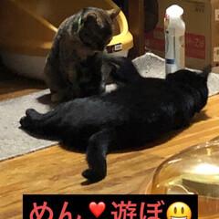 黒猫/にゃんこ同好会 にことめん仲良くプロレスしてます。 こう…