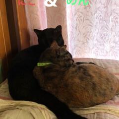 黒猫/猫/寝顔/仲良し 私が休憩すると静かな猫様たち。見に行くと…