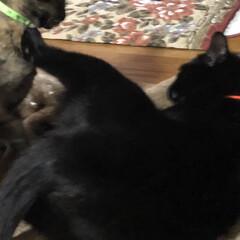 ケンカ/きょうだい/猫/黒猫 1日何度も繰り返される追いかけっこやらケ…