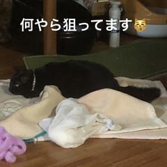 黒猫/遊び/くろママ/暮らし すっかり家での生活を満喫してるくろママ。…(4枚目)