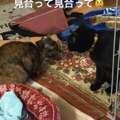 きょうだい/猫/黒猫 朝から元気な2匹はやりあいますが 結局め…