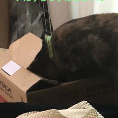 遊び/にこ/黒猫/猫/めん 今日もにことめんは元気いっぱい。くっつい…