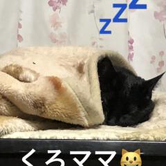 寝顔/黒猫 やっと落ち着いて寝る場所を見つけたくろマ…