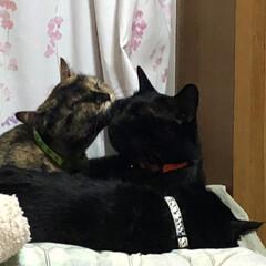 きょうだい/黒猫 めんとにこの中はくっついたり離れたりよく…(2枚目)