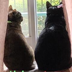 きょうだい/猫/黒猫 時には激しく喧嘩?じゃれあい?もするし時…