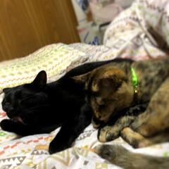 にゃんこ同好会/うちの子ベストショット 昨日は私が発熱🥵して寝込んでしまい猫様た…(1枚目)