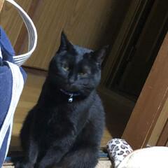 にゃんこ同好会/うちの子ベストショット 昨日は私が発熱🥵して寝込んでしまい猫様た…(2枚目)