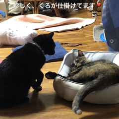 親子/めん/猫/くろ/黒猫 珍しくくろがめんにケンカをぶっかけてた⁉…(2枚目)