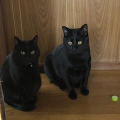 黒猫/にゃんこ同好会/うちの子ベストショット 左くろ右にこです。早朝からテンション高め…
