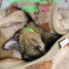 寝顔/猫 この頃この毛布が好きでご飯食べると ここ…