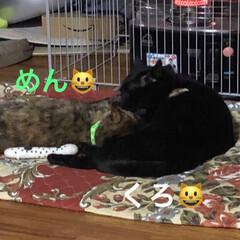 仲良し/親子/黒猫/猫 ストーブの前で仲良く毛づくろいしあうくろ…